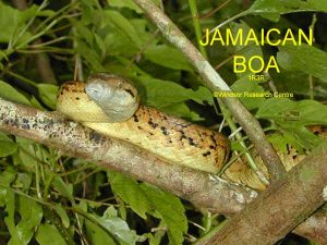 Amazing Facts About Jamaican Boa