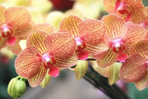 Amazing Facts About Jamaica Orchid