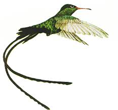 Jamaican Humming Bird